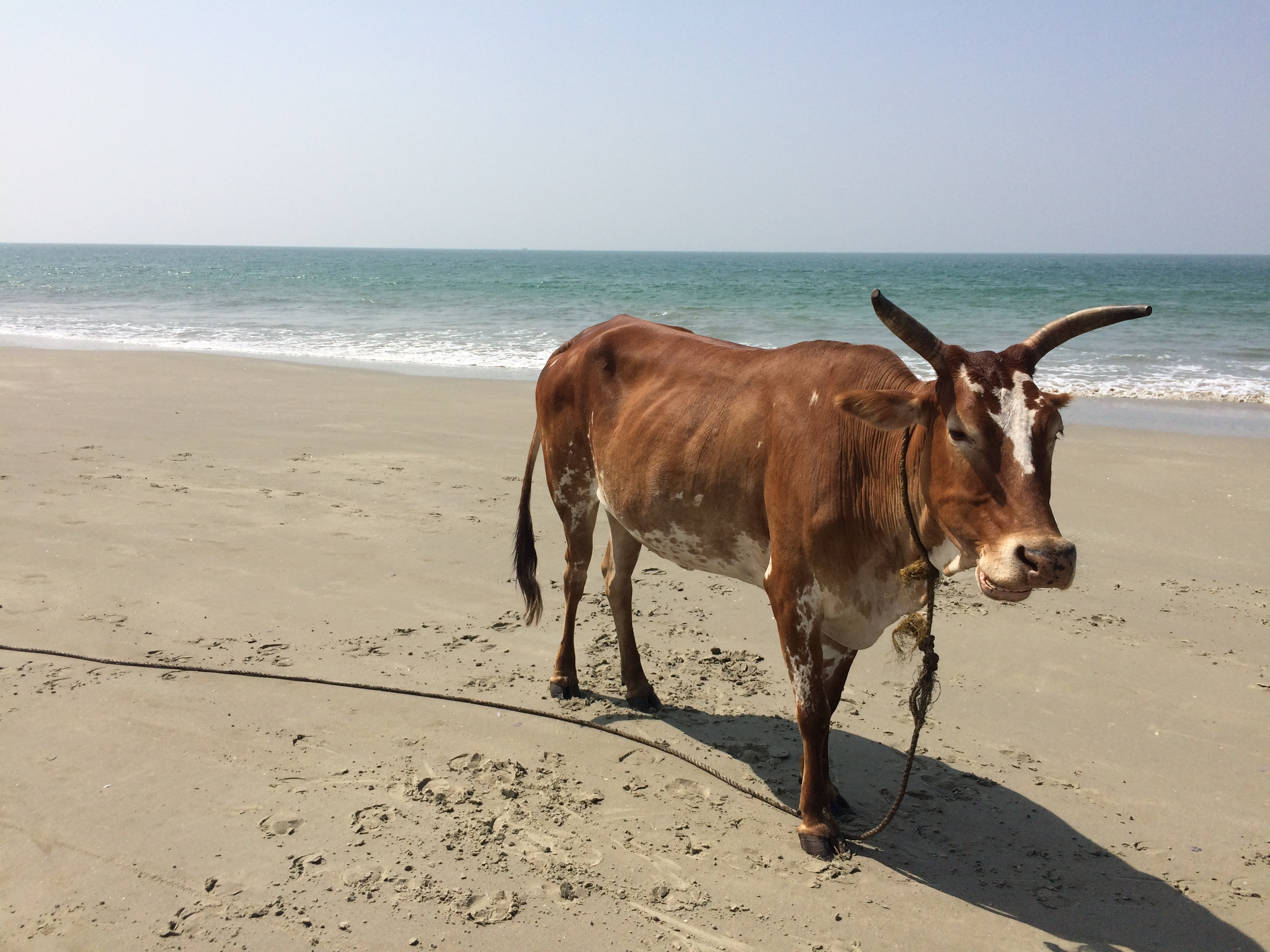 Cow on the beach in Goa, India