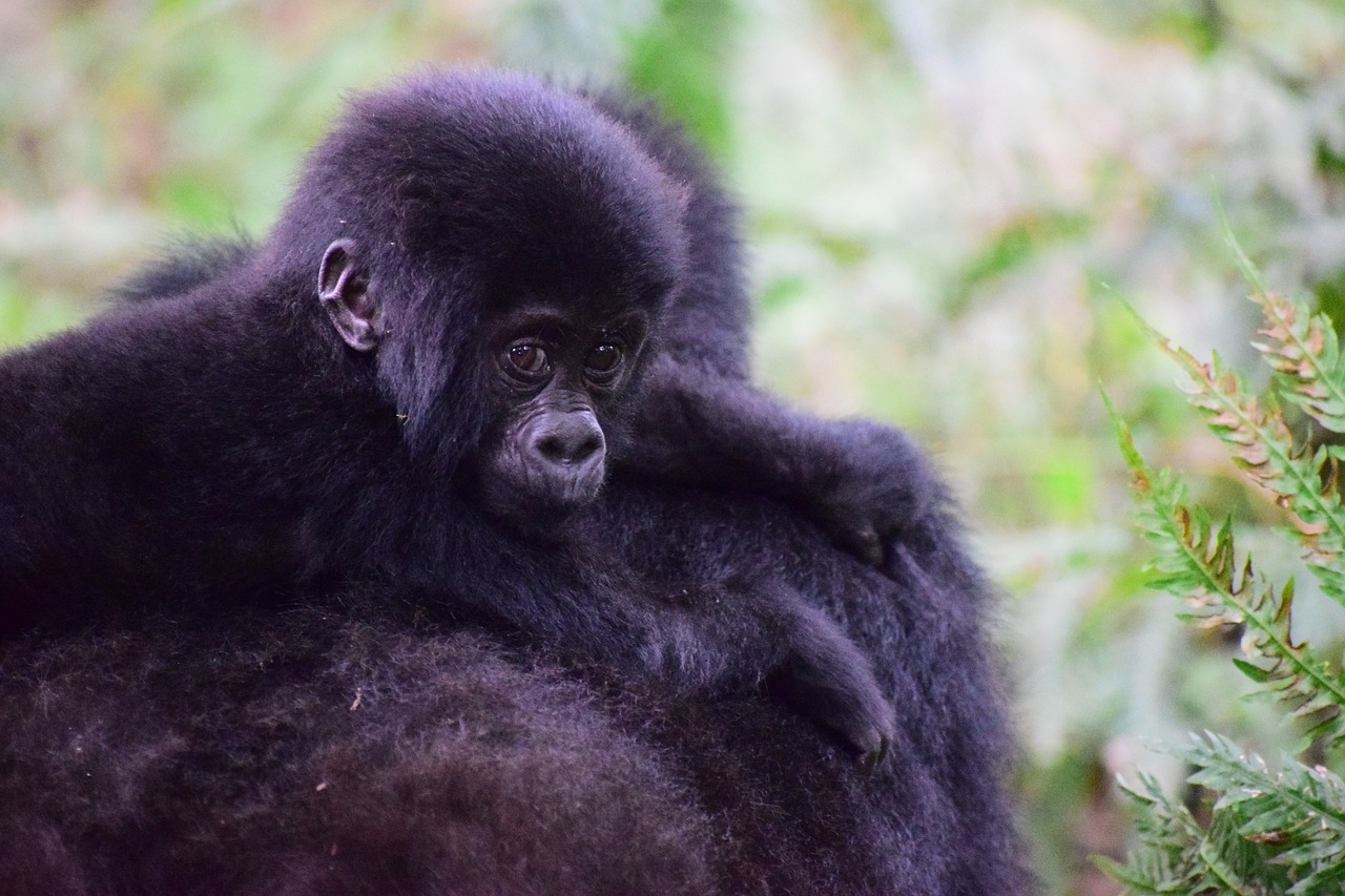 mountain-gorilla in Uganda