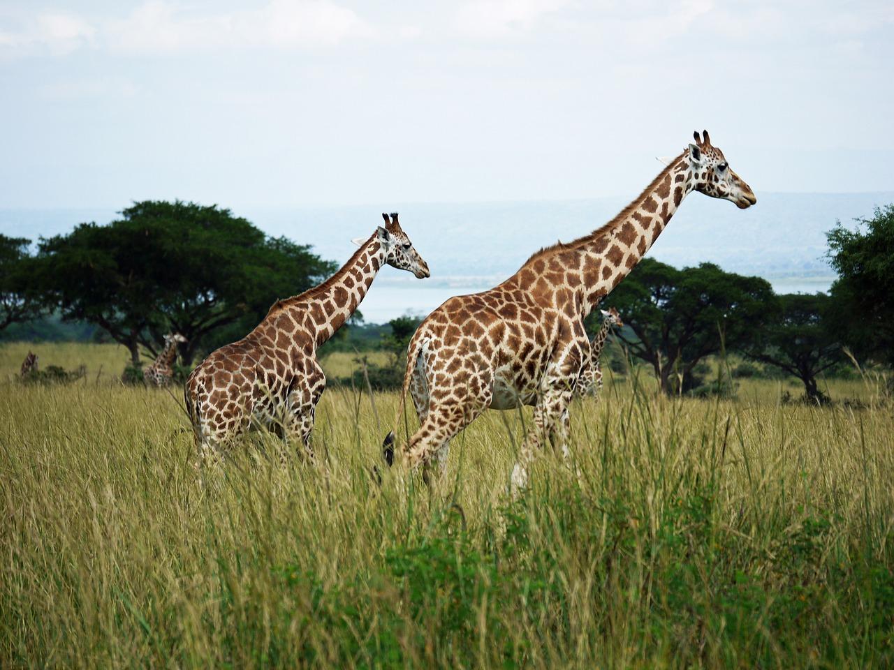 Giraffes in Uganda, Africa