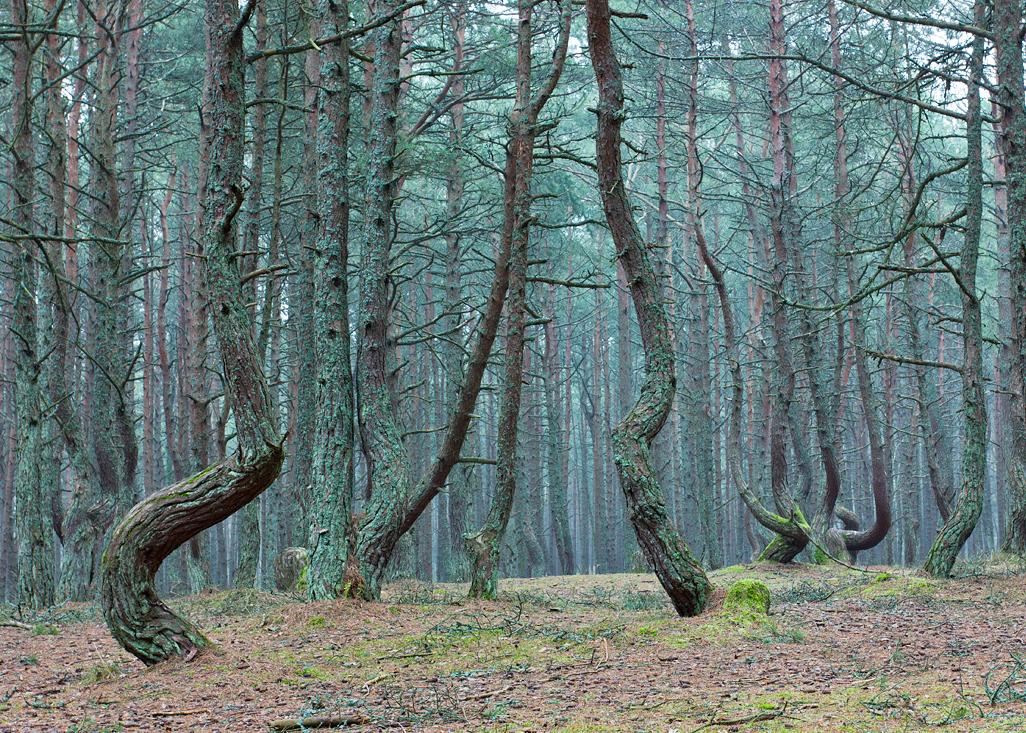 Dancing forest near Kaliningrad