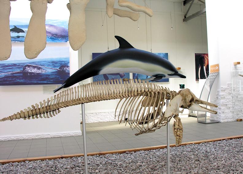 Dolphin skeleton, Museum of the World Ocean